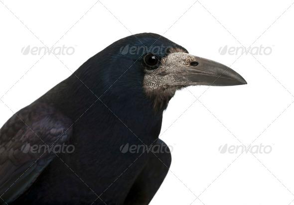Rook, Corvus frugilegus, 3 years old, against white background - Stock Photo - Images