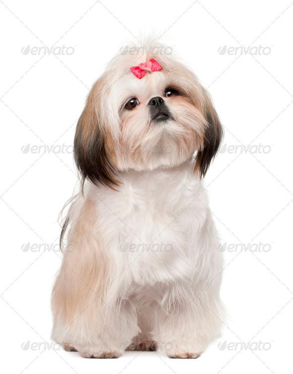 Shih Tzu sitting against white background - Stock Photo - Images