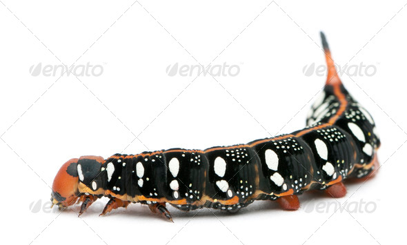 Spurge Hawk, Hyles Euphorbiae, caterpillar against white background - Stock Photo - Images