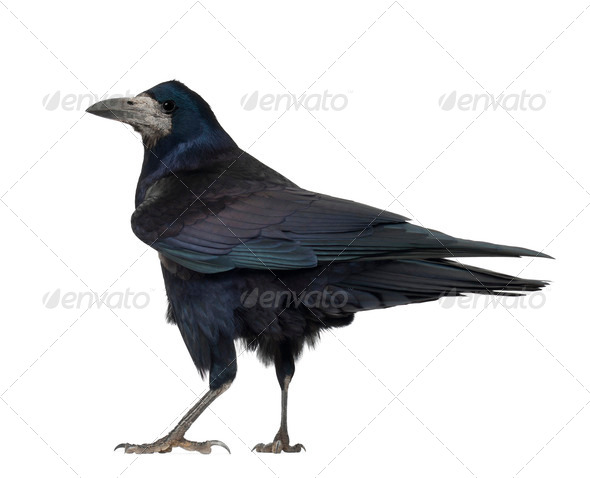 Rook, Corvus frugilegus, 3 years old, standing against white background - Stock Photo - Images