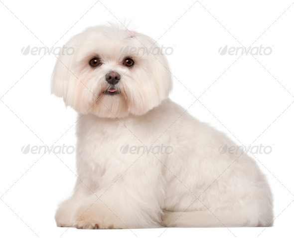 Maltese, 1 year old, sitting against white background - Stock Photo - Images