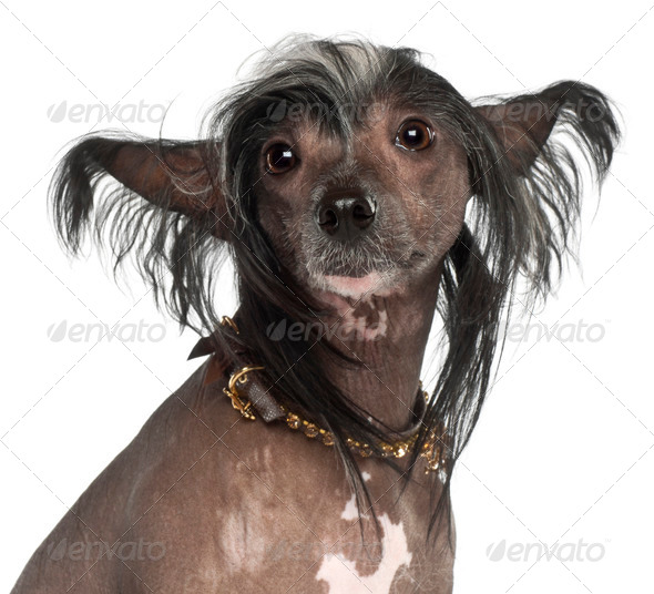 Chinese Crested Dog, 1 year old, sitting against white background - Stock Photo - Images