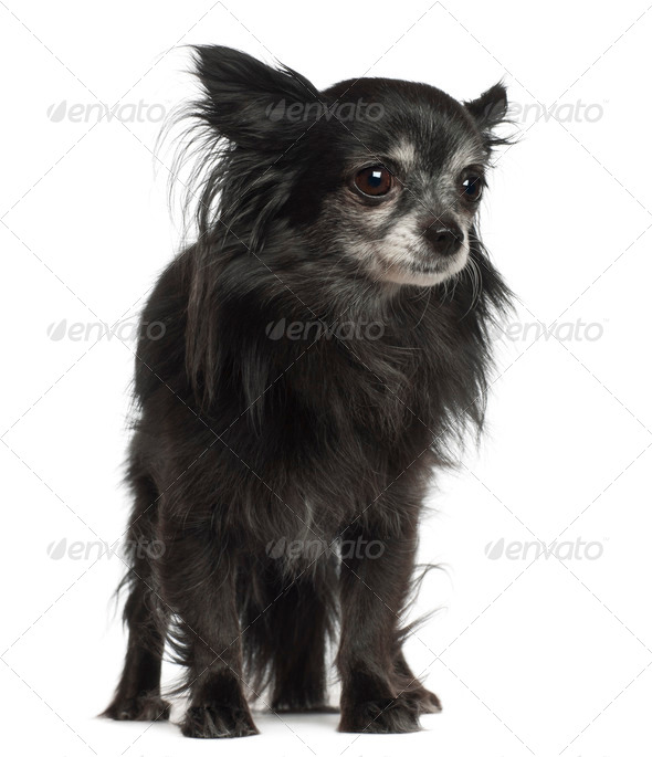Chihuahua, 8 years old, standing against white background - Stock Photo - Images