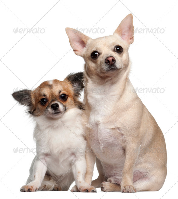 Chihuahuas, 1.5 years old and 1 year old, sitting against white background - Stock Photo - Images