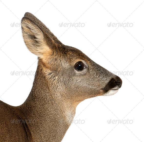 European Roe Deer, Capreolus capreolus, 3 years old, against white background - Stock Photo - Images