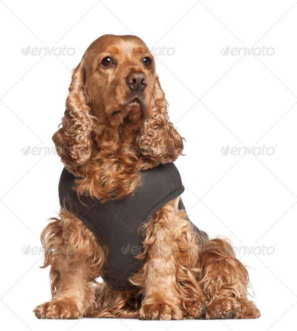 English cocker spaniel, 6 years old, sitting against white background - Stock Photo - Images