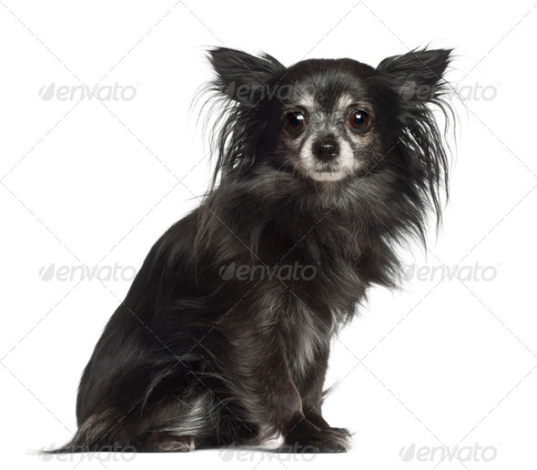 Chihuahua, 8 years old, sitting against white background - Stock Photo - Images