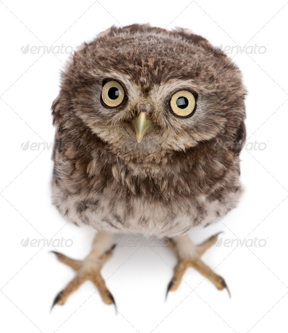 Young owl standing in front of white background - Stock Photo - Images