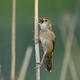 Common grasshopper warbler (Locustella naevia) - PhotoDune Item for Sale