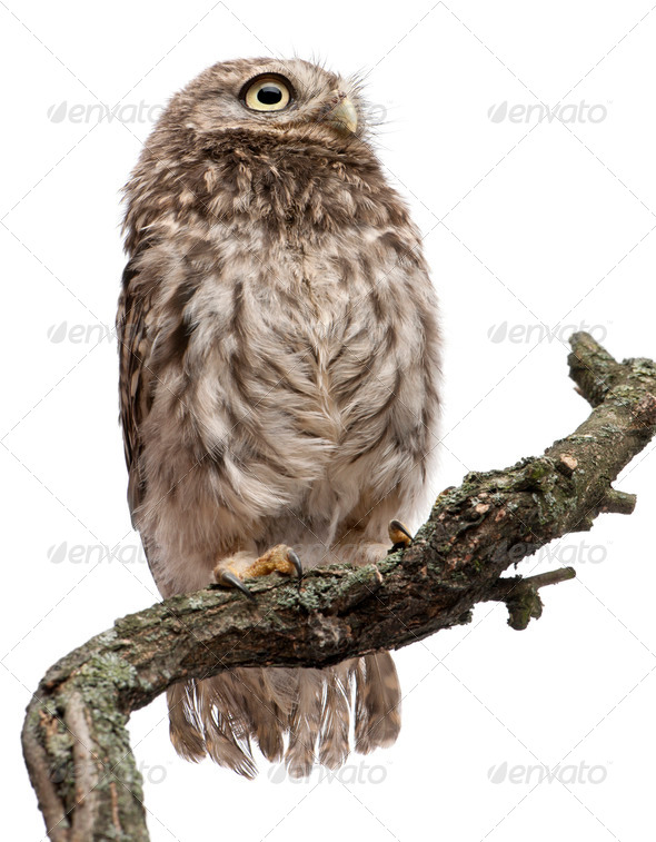 Young owl perching on branch in front of white background - Stock Photo - Images