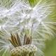 dandelion head - PhotoDune Item for Sale