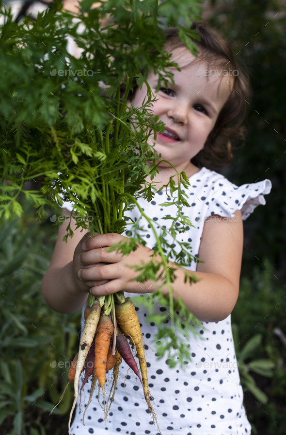 Carrots from small organic farm. Kid farmer hold multi colored carrots in a garden. - Stock Photo - Images