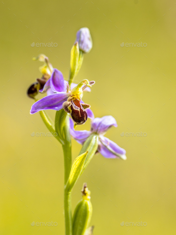 Pink flowers of Bee orchid detail - Stock Photo - Images