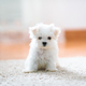 White cute maltese puppy, 2 months old looking at us - PhotoDune Item for Sale
