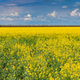 Field of bright yellow rapeseed in spring - PhotoDune Item for Sale