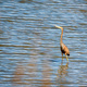 Purple heron wading in the pond - PhotoDune Item for Sale