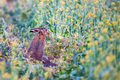 Close up scared European hare or Lepus europaeus in nature - PhotoDune Item for Sale