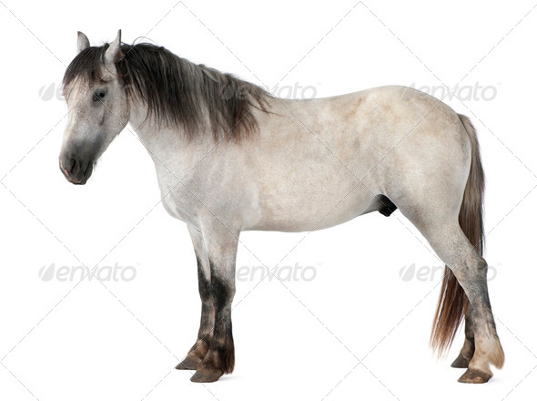 Horse, 2 years old, standing in front of white background - Stock Photo - Images