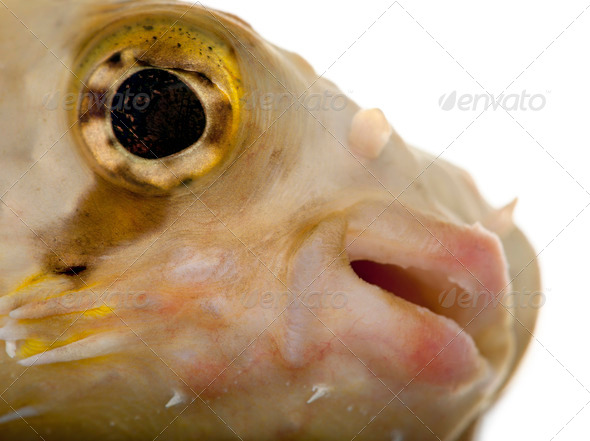 Close-up of Porcupinefish or Balloonfish, Diodon holocanthus, in front of white background - Stock Photo - Images
