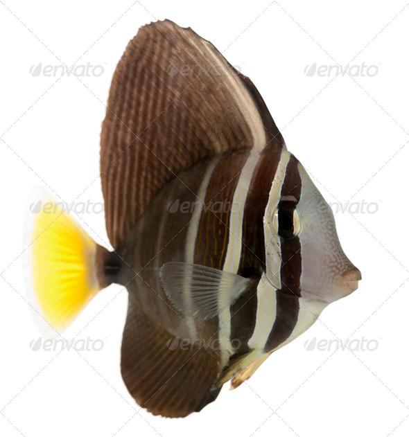 Sailfin Tang, Zebrasoma veliferum, in front of white background - Stock Photo - Images