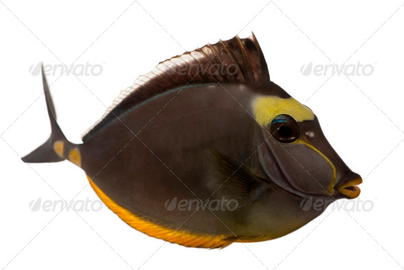 Orangespine unicornfish, Naso lituratus, in front of white background - Stock Photo - Images