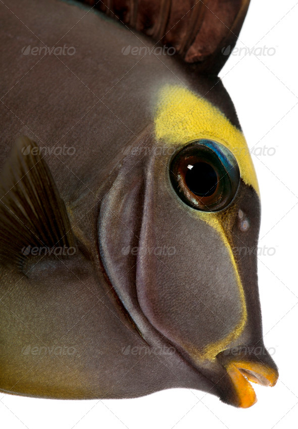 Close-up of Orangespine unicornfish, Naso lituratus, in front of white background - Stock Photo - Images