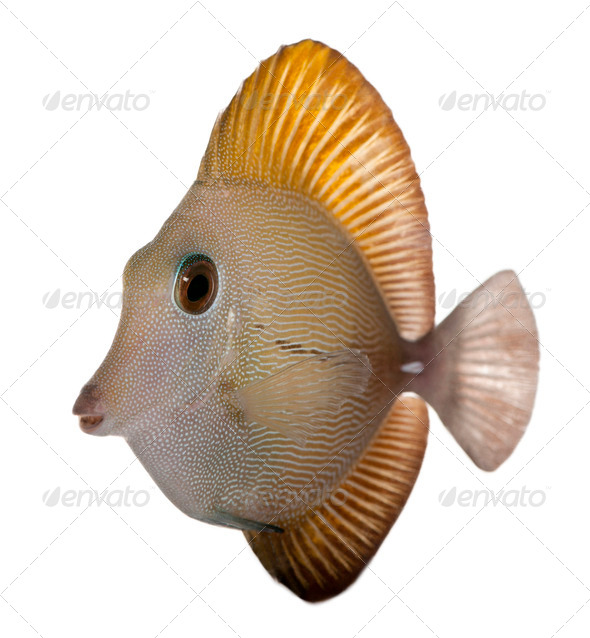 Scopas Tang or Twotone Tang, Zebrasoma scopas, in front of white background - Stock Photo - Images
