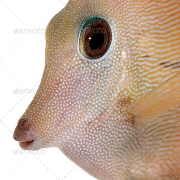 Close-up of Scopas Tang or Twotone Tang, Zebrasoma scopas, in front of white background - Stock Photo - Images