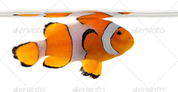 Clownfish, Amphiprion ocellaris, in front of white background - Stock Photo - Images