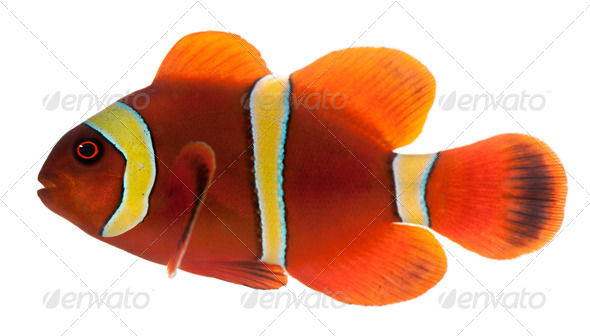 Maroon clownfish, Premnas biaculeatus, in front of white background - Stock Photo - Images