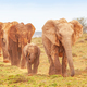 An Elephant Procession in Addo - PhotoDune Item for Sale