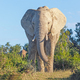 Close Encounter With a Large Elephant - PhotoDune Item for Sale