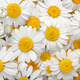Chamomile flowers background. Natural herbal treatment. - PhotoDune Item for Sale