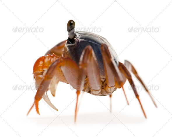 Side view of Patriot crab, Cardisoma armatum, in front of white background - Stock Photo - Images