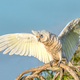 Little Corella With Wings Outstretched - PhotoDune Item for Sale