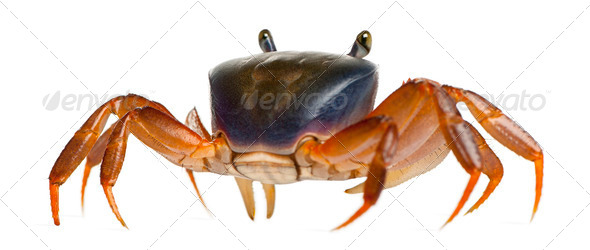 Patriot crab, Cardisoma armatum, in front of white background - Stock Photo - Images