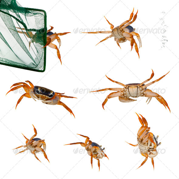 Patriot crabs, Cardisoma armatum, and net in front of white background - Stock Photo - Images