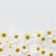 Floral background. Flat lay spring and summer daisy flowers with copy space. Flat lay. - PhotoDune Item for Sale