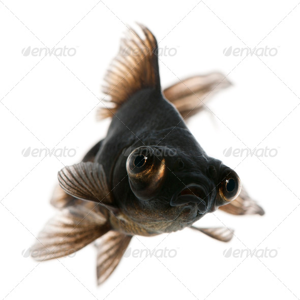 Black moor, Carassius auratus, in front of white background - Stock Photo - Images
