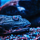 Close-up face exotic fish lying on the bottom in the Oceanarium - PhotoDune Item for Sale