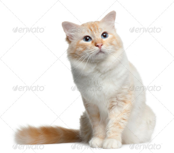 Birman cat, 3 years old, sitting in front of white background - Stock Photo - Images