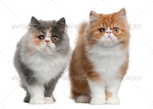 Persian Kittens, 3 months old, standing in front of white background - Stock Photo - Images