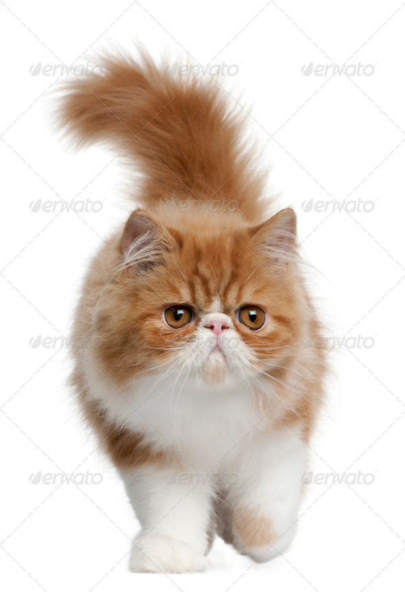 Persian Kitten, 3 months old, walking in front of white background - Stock Photo - Images