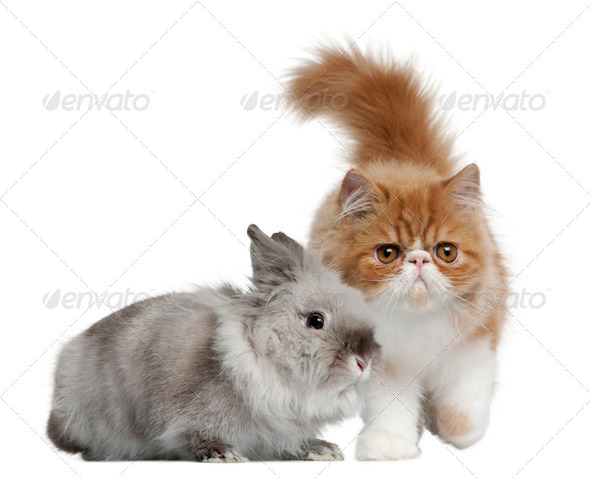 Persian Kitten, 3 months old, and Rabbit, 1 year old, in front of white background - Stock Photo - Images