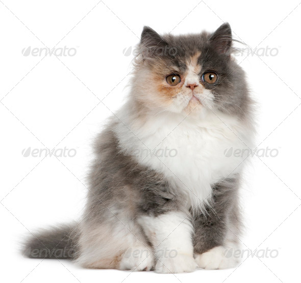 Persian Kitten, 3 months old, sitting in front of white background - Stock Photo - Images