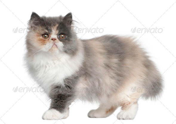 Persian Kitten, 3 months old, standing in front of white background - Stock Photo - Images