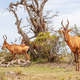 Red Hartebeest in Addo Elephant National Park - PhotoDune Item for Sale