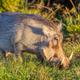 Warthog in Addo Elephant National Park - PhotoDune Item for Sale