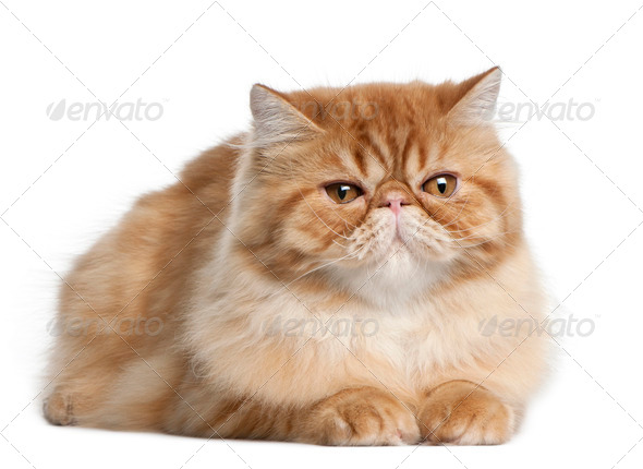 Persian cat, 5 months old, lying in front of white background - Stock Photo - Images