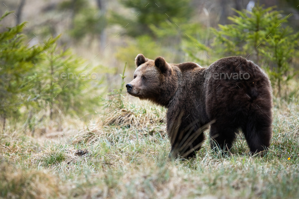Large brown bear looking aside on a glade in forest in spring nature - Stock Photo - Images